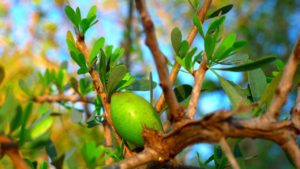 Argan fruit hanging from a tree