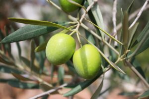 Olives hanging from a branch